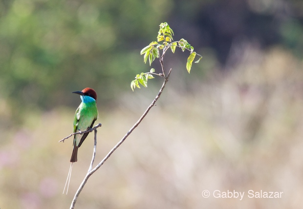 Blue-bearded bee-eater, Penang Province, Malaysia