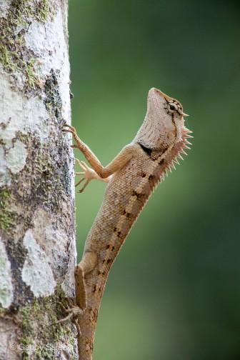 Crested forest lizard, Ulu Muda