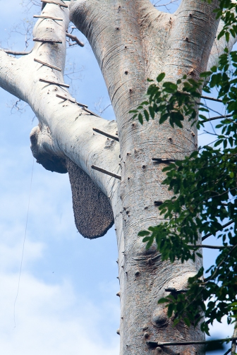 Tualang Tree, Ulu Muda
