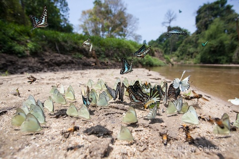 Butterflies gather on the bank of the Muda River.