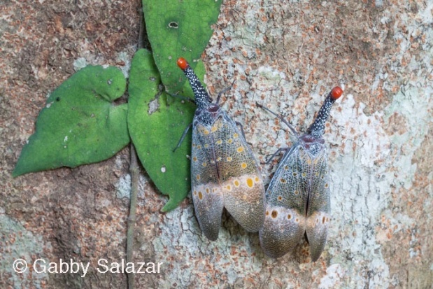Lantern bugs (Family: Fulgoridae) rest on the bark of a tree.