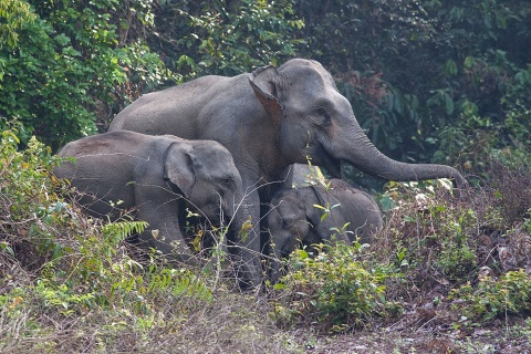 Asiatic elephants on the bank of the Muda River.