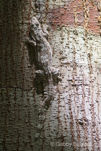 Gliding gecko on tree bark during the day, Ulu Muda, Malaysia.