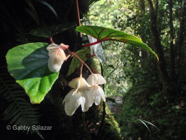 Begonia berylleae, endemic to Kinabalu National Park