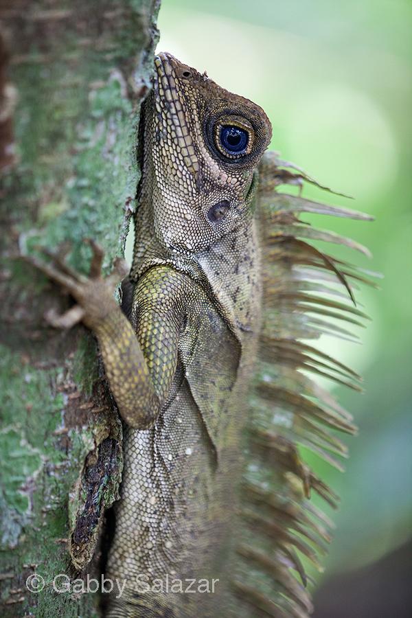 Blue-eyed angle head lizard, Taman Negara National Park, Malaysia.