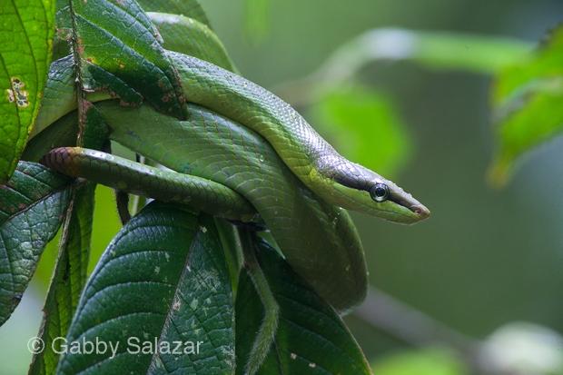 Red-tailed green racer, Taman Negara National Park, Malaysia.
