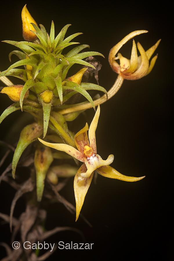 Orchid, Gunung Mulu National Park