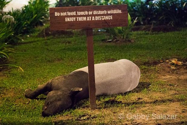Malaysian tapir sleeping under an appropriate sign.