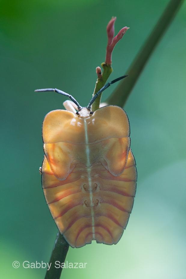 Juvenile true bug, Taman Negara National Park, Malaysia