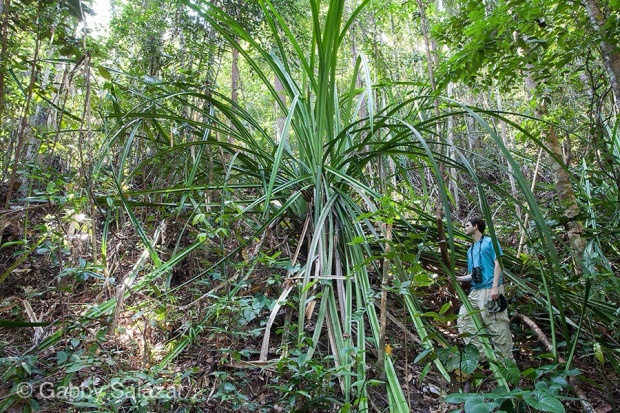 Rick Stanley under a giant pandanus, Bako National Park, Sarawak