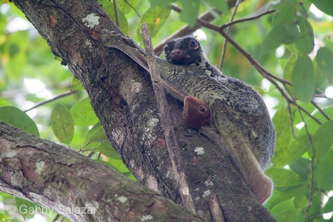 Flying lemurs, Bako National Park, Sarawak, Borneo
