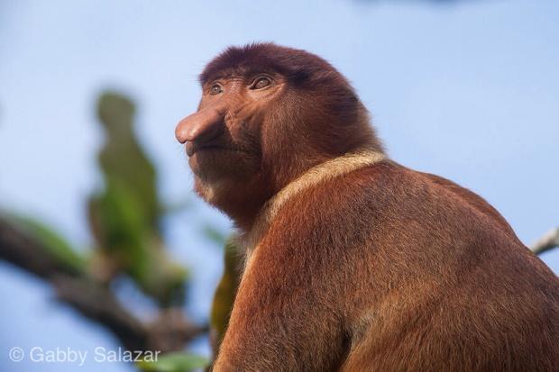 Proboscis monkey, Bako National Park, Sarawak