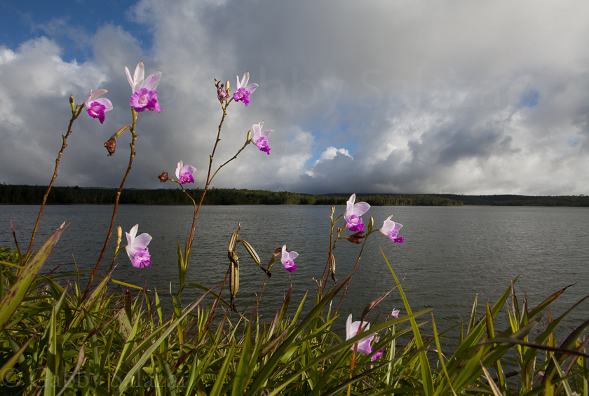 Bamboo orchids (Arundina graminifolia) growing along the side of a reservoir in Black River Gorges National Park, Mauritius.