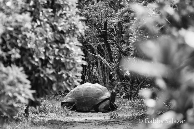 An Aldabra giant tortoise on Ile aux Aigrettes, Mauritius.