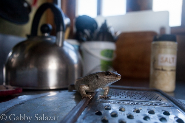 A Telfair's skink hangs out in the kitchen of the tiny field station on Round Island, Mauritius