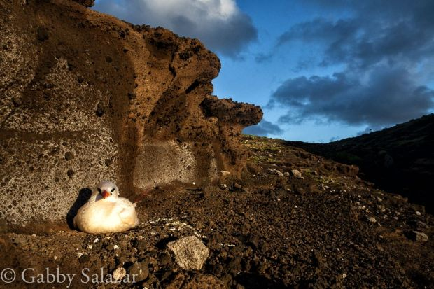 A red-tailed tropicbird nests on the ground of Round Island, Mauritius
